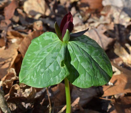 trillium recurvatum dark red trillium velvet-red