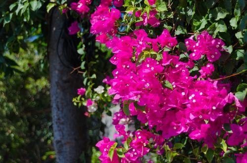 triple flower bougainvillea botanical