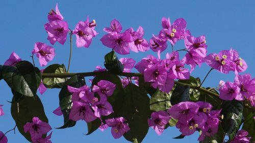 triple flower bougainvillea bougainville