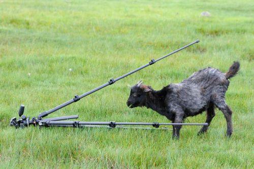 tripod goat curiosity