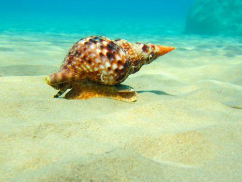 Triton Mollusk