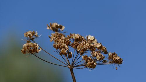 trockenblume late summer sky