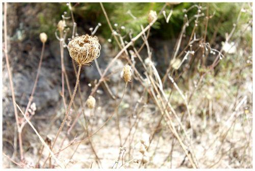 trockenblume faded dry