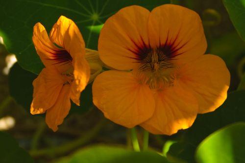 tropaeolum majus orange natural