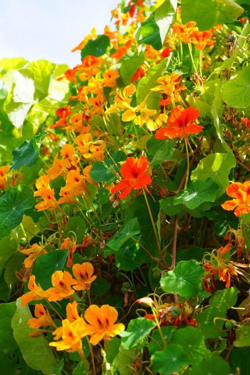 tropaeolum majus flowers red orange
