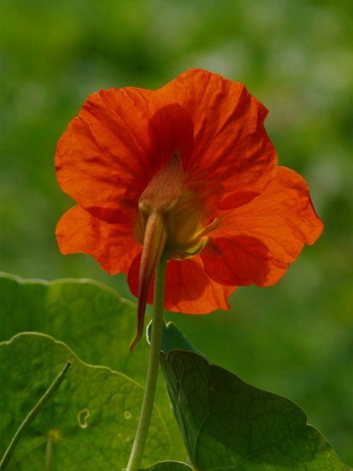 tropaeolum majus flower blossom