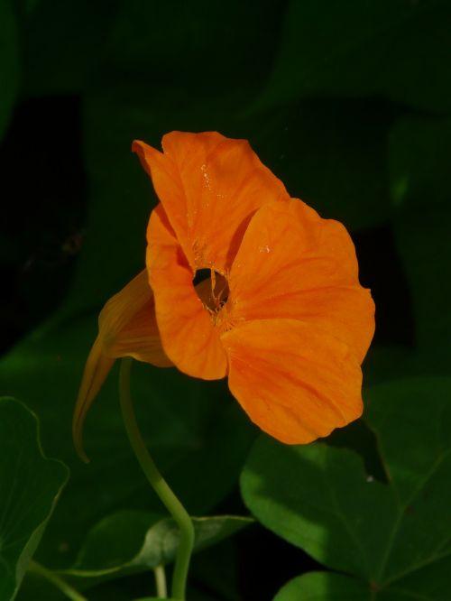 tropaeolum majus blossom bloom