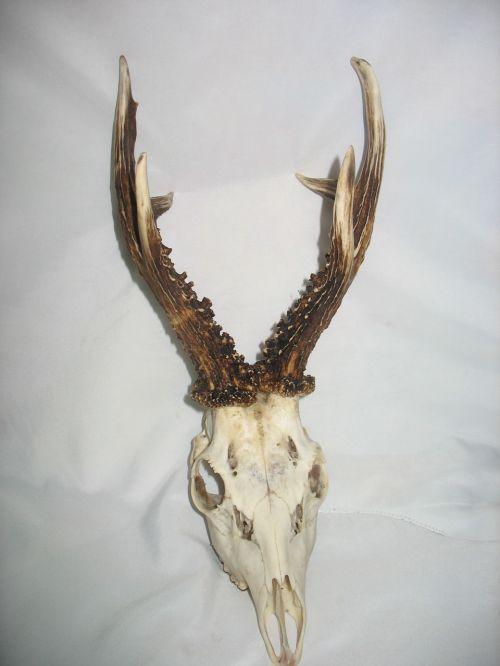 trophy goat antlers