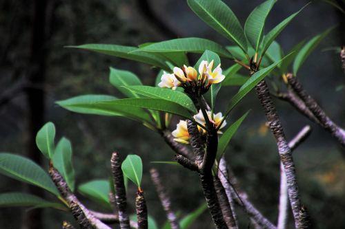 tropical frangipani nature
