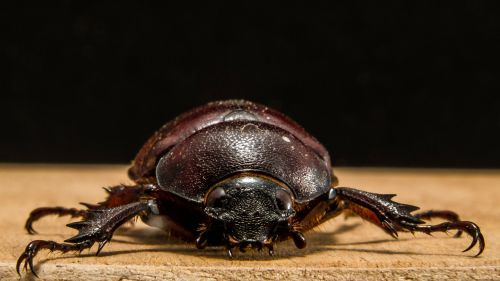 tropical beetles red brown close