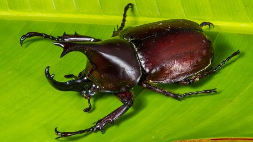 tropical beetles rhinoceros beetle riesenkaefer