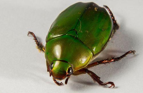 tropical beetles green close
