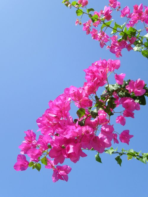 tropical flower exotic flower bougainvillea