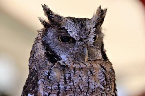 tropical screech owl owl raptor