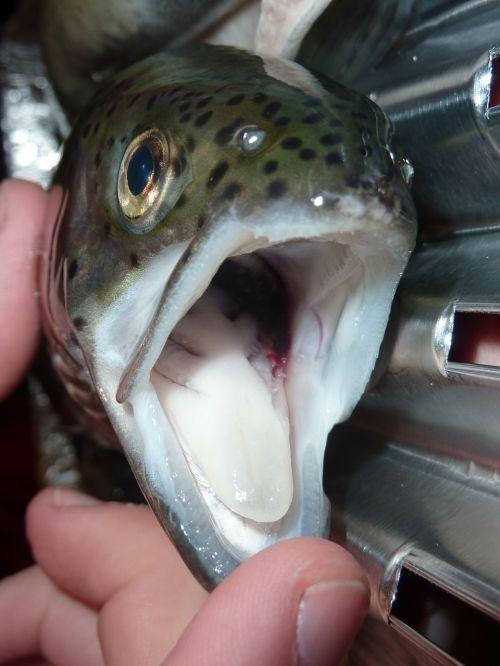 trout fish fishing