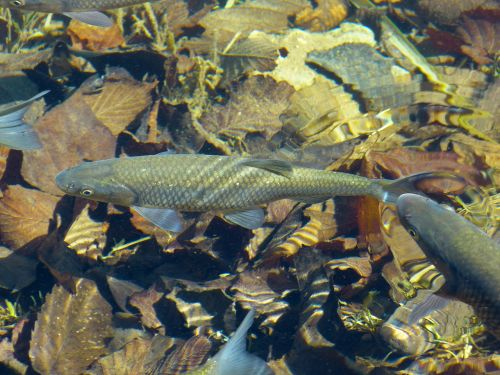 trout fish water