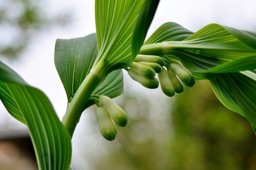 true solomon's seal  perennial garden  flowers