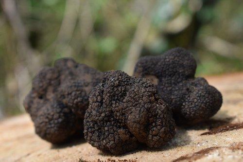 truffle  truffles  tuber