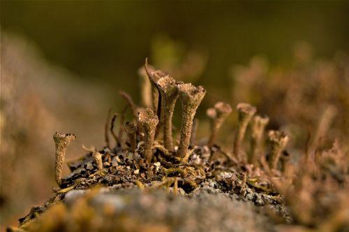 trumpet lichen lichen caldonia fimbriata