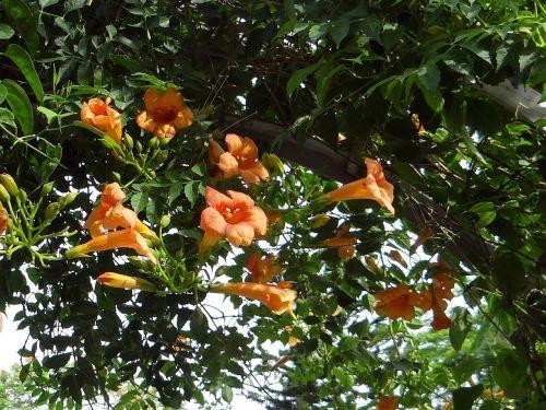 trumpet vine campsis grandiflora tecoma grandiflora