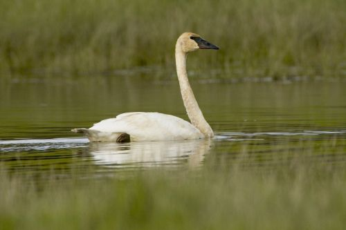 trumpeter swan swimming bird