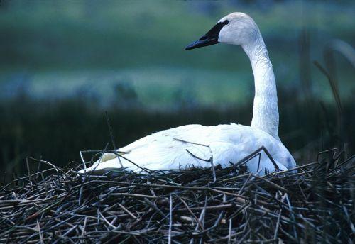 trumpeter swan nesting bird