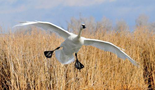 trumpeter swan landing bird