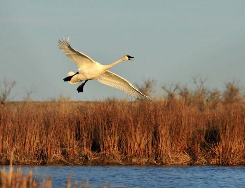 trumpeter swan flying bird