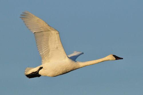 trumpeter swan bird wildlife
