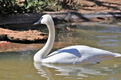 Trumpeter Swan In Pond
