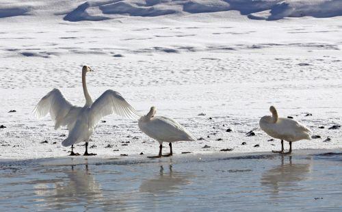 trumpeter swans winter park