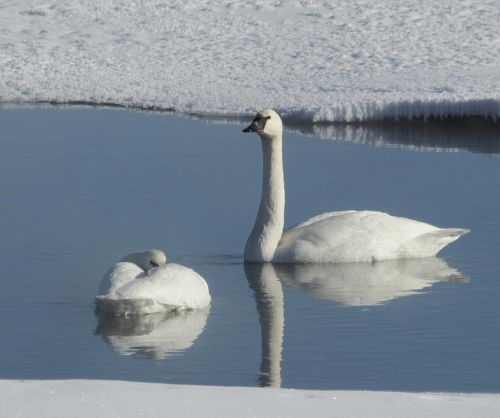 trumpeter swans swimming river