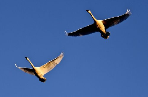trumpeter swans flying wild