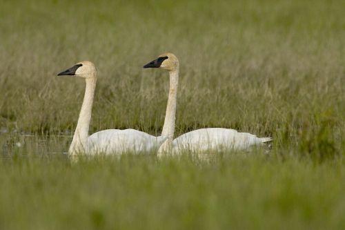 trumpeter swans birds white