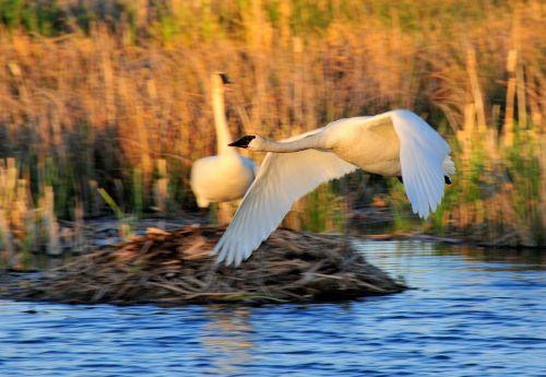 trimito gulbės,paukščiai,laukinė gamta,gamta,cygnus,skraidantis,skrydis,lauke,vandens paukščiai,žolė,nendrės,sparnai,vanduo