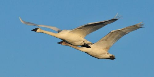trumpeter swans flying birds