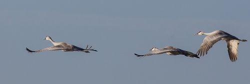 trumpeter swans flying flight