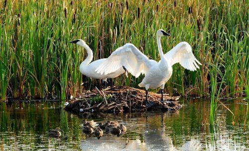 trumpeter swans birds wildlife