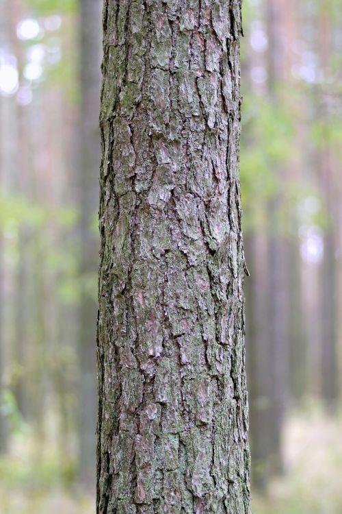 trunk tree spruce
