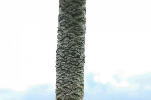 Trunk Of Pawpaw Tree