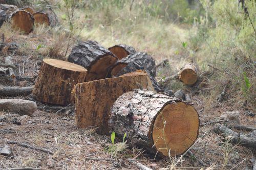 trunks wood pine