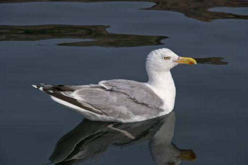 trut seagull seabird