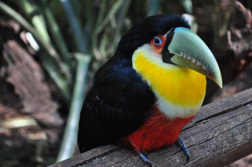 tucano bird brazil