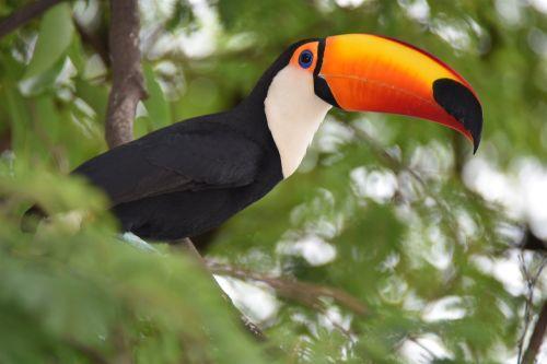 tucano nature bird