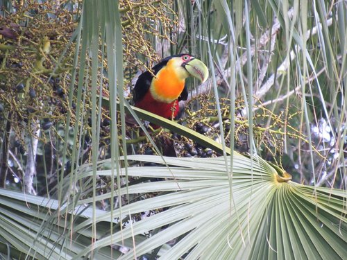 tucano  tropical  nature