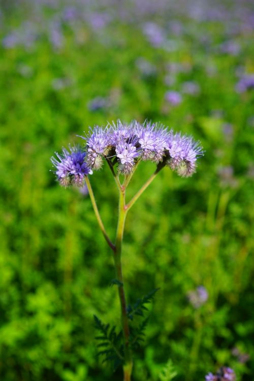 tufted flower phacelia water-leaf family
