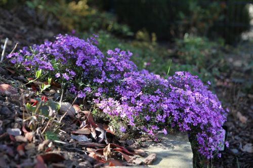 tufted phlox phlox columbia flowers