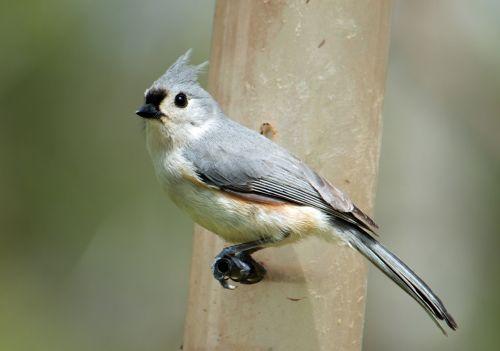 tufted titmouse bird animal