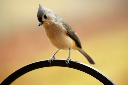 tufted titmouse crested bird