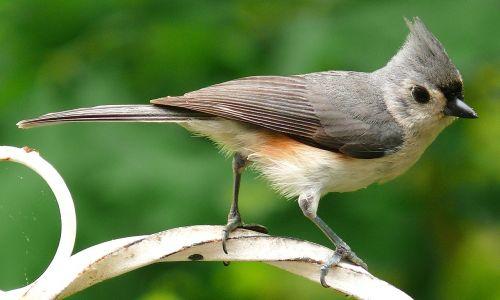 tufted titmouse bird nature